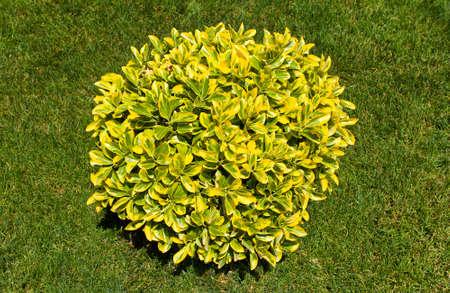 ornamental bush: close-up ornamental bush on green grass Stock Photo