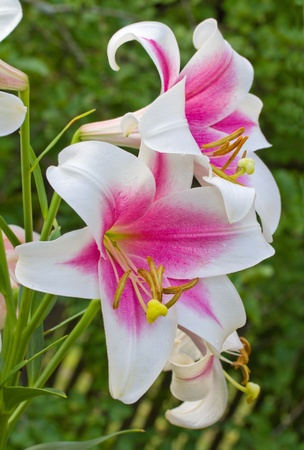 pink-white lily on green background