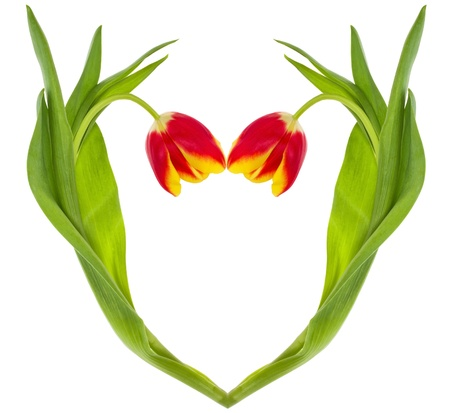 close-up red-yellow tulips heart, isolated on white