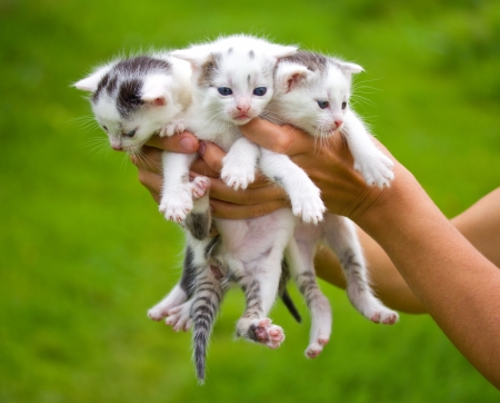 three little kittens in hands on green background photo