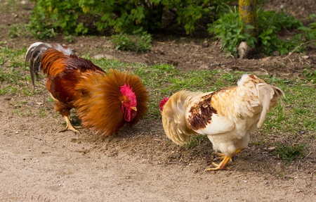 fighting cock: two fighting roosters Stock Photo