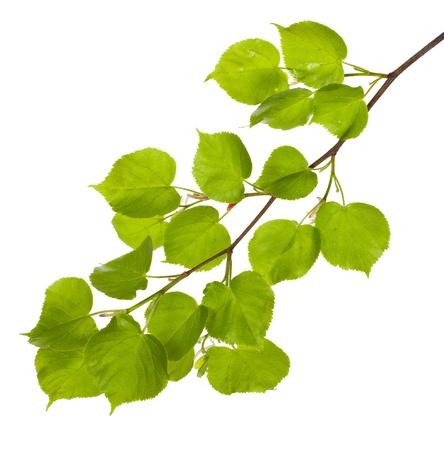 tilo: primer plano tilo rama con hojas nuevas, aislado en blanco
