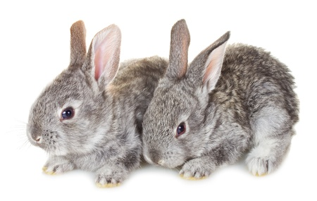 close-up two small gray rabbits, isolated on white photo