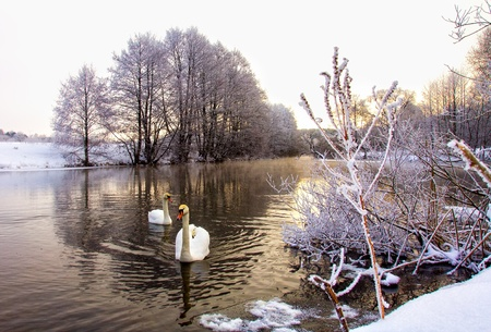 two white swans swim in winter river photo