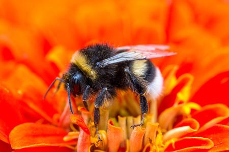 Abejorro recolectando néctar de flor roja, macro disparo