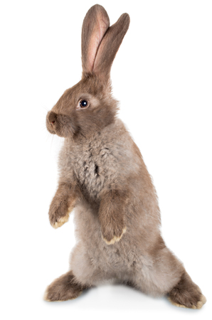 rabbit standing on hind legs, isolated on white