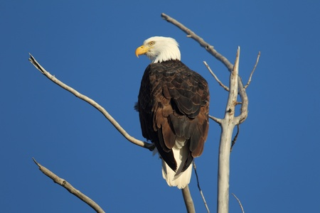 Bald eagle with a blue sky background Stock fotó