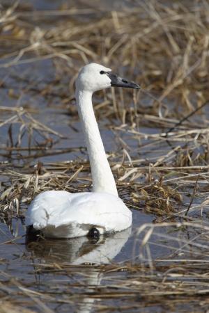 tundra swan: Tundra Cisne en un humedal en Idaho