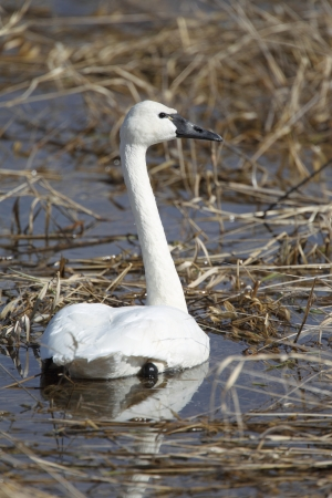 tundra swan: Tundra Swan on a wetland in Idaho