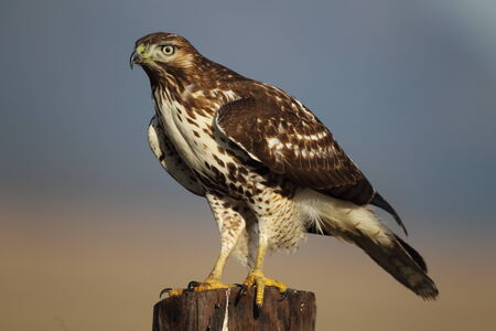 redtail: Perched Redtail Hawk