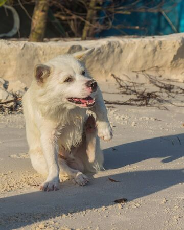 A cute, small, white dog is running and relaxing at the beach.