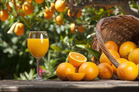 Orange juice freshly picked squeezed with oranges under orange tree  Stok Fotoğraf
