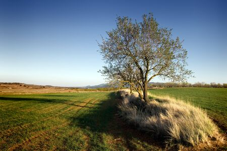 Isolated tree in the middle of crop fields