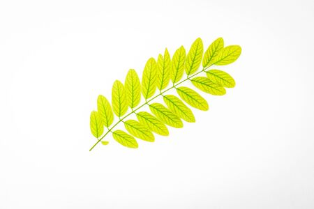 young leaves of Robinia Pseudoacacia on white background