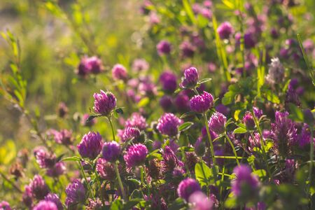 trifolium: many clovers sun shine black lit