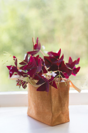 Houseplant Oxalis from the family Kislichnye (Oxidaceae) with dark-claret leaves on a window sill