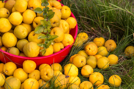 quince fruits in a bowl lying on grass, sunny day 스톡 콘텐츠