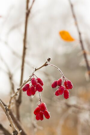 barberry brunches under the snow on the winter day