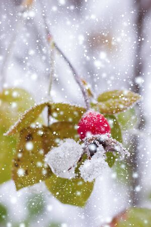 hawthorn brunches under the snow in the winter day Stock Photo