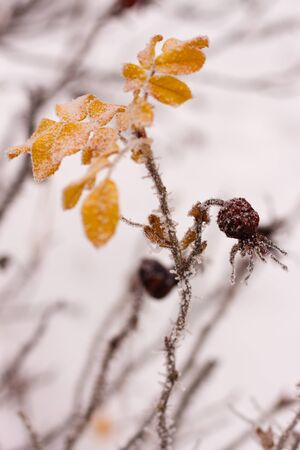 rosehip  brunches under the snow in the winter day