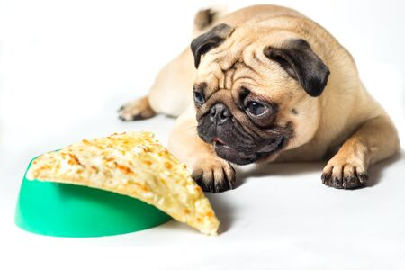 pug looking to slice of pizza on a green bowl