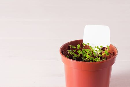 seedlings of forget-me-not flower in a plastic pot with white label