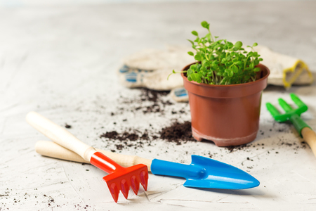 seedlings of forget-me-not flower in a plastic pot and gardening tools, focus in the front