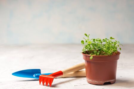seedlings of forget-me-not flower in a plastic pot and gardening tools