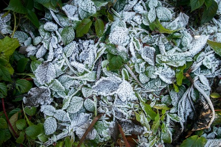 greeen: Frozen leaves. Greeen leaves in the winter. The first frost. Stock Photo
