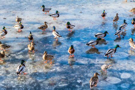 winter urban wildlife: Wild ducks on the lake ice in the spring in city park. Stock Photo