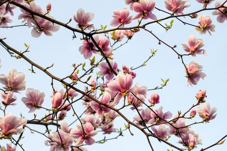 magnolia branch: Blossom magnolia branch against blue sky.