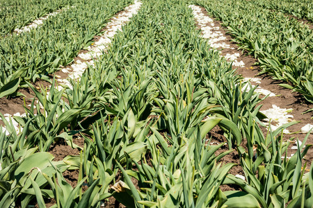 bulb tulip: Tulip bulb field with white flowers on soil after harvest.