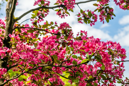 crab apple tree: Beautiful red pink and purple flowers of crab apple tree, with the botanical name of Malus purpurea Eleyi.