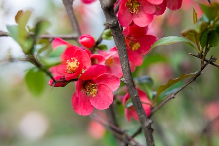 crab apple tree: Beautiful red pink and purple flowers of crab apple tree, with the botanical name of Malus purpurea Eleyi. Shallow depth of field. Stock Photo