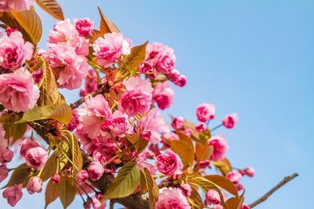 Sakura. Cherry blossom against blue sky in springtime. Soft focus