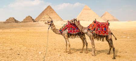 Camel in front of the pyramids in Giza, Egypt. Archivio Fotografico