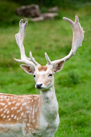 Fallow deer in the wilderness, Black Forest, Germany photo