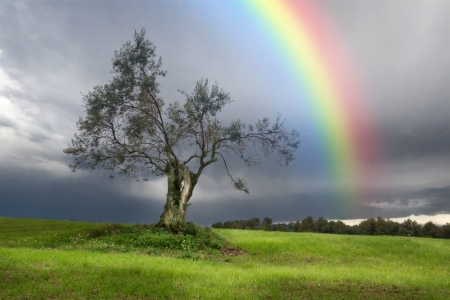 Rainbow over a Lonely olive tree Фото со стока