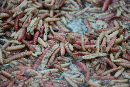 Maguey worm