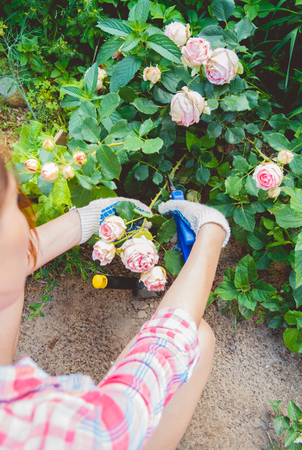 Woman in gloves trims a rose garden with the help of secateurs Stock Photo