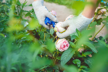 trims: Woman in gloves trims a rose garden with the help of secateurs Stock Photo
