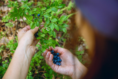 gathers: Woman gathers ripe fresh blueberries in the forest. Close-up