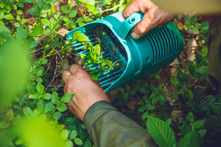 gathers: The elderly man gathers blueberries with a special device
