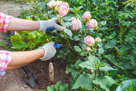 Woman in gloves trims a rose garden with the help of secateurs