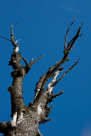 Dry tree isolated on blue sky
