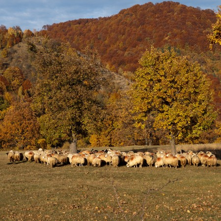 sheeps on autumn landscape Stock Photo