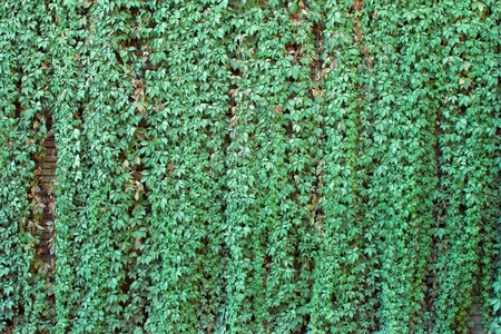 detail of green ivy on a red brick wall photo