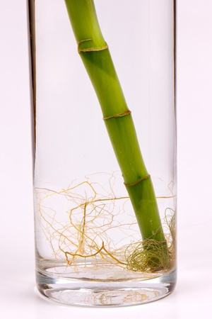 bamboo roots detail, isolated on white photo