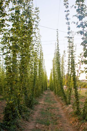 Hops plantation at sunset Stock Photo