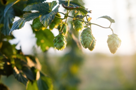 Hops plantation at sunset photo